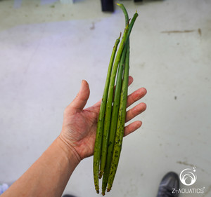 Mangrove - Rhizophora stylosa