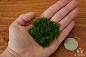 Mini Pellia - Riccardia chamedryfolia