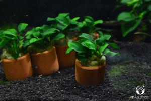 Anubias nana in 3cm Terracotta Pot