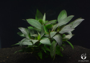 Hygrophila corymbosa 'Kompakt'