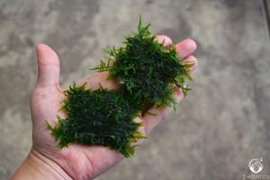 Java Moss - Taxiphyllum sp.