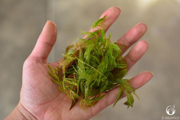 Ceratophyllum demersum - Hornwort