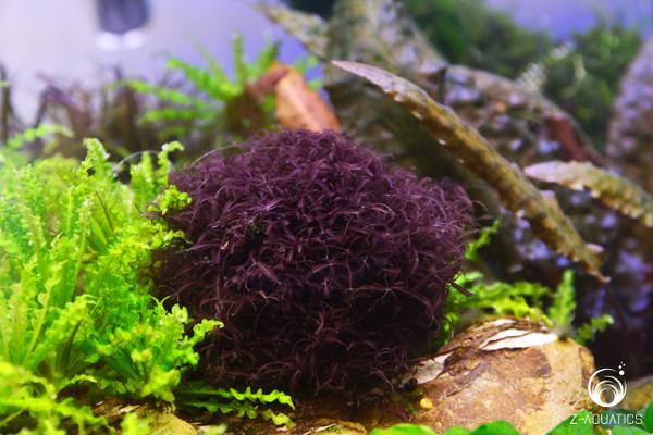 Red Moss - Caloglossa cf. beccarii