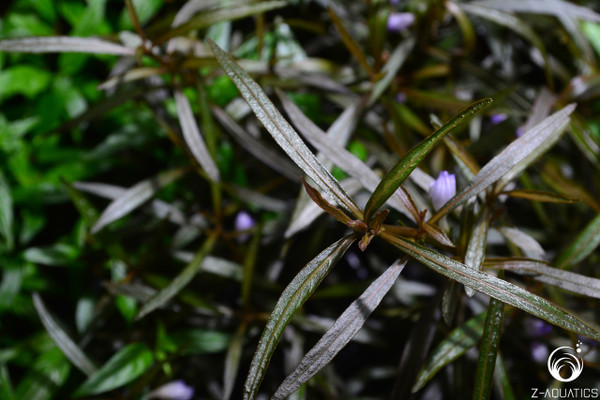 Hygrophila lancea (sp. Araguaia)