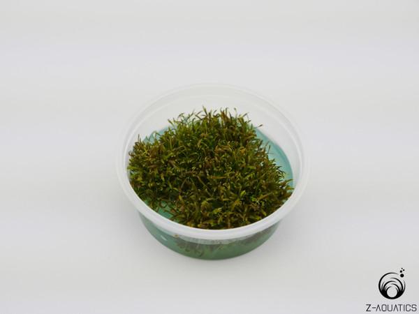 Glossostigma diandrum Mini