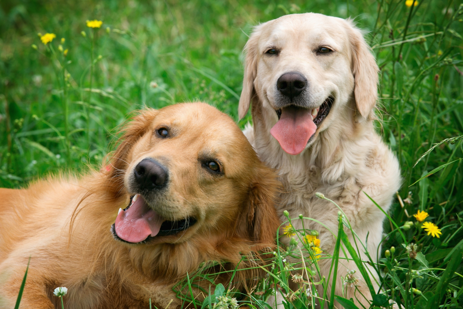 Two happy  golden retrievers laying in the green grass.