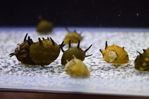 5 Sun Horned Nerite Snails