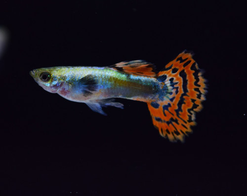 Male Dumbo Ear Guppy