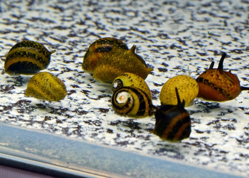 5 Tri Color Horned Nerite Snails.