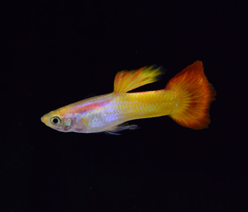 Pair of Tequila Sunrise Guppies