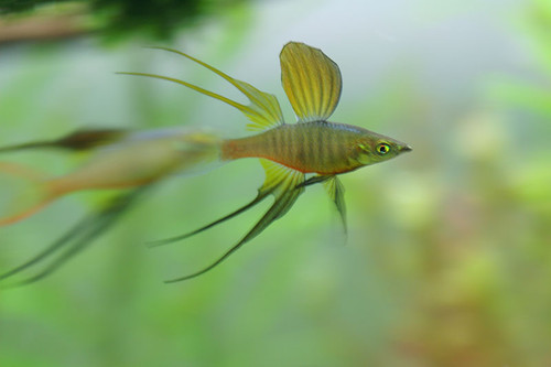 1 Threadfin Rainbow