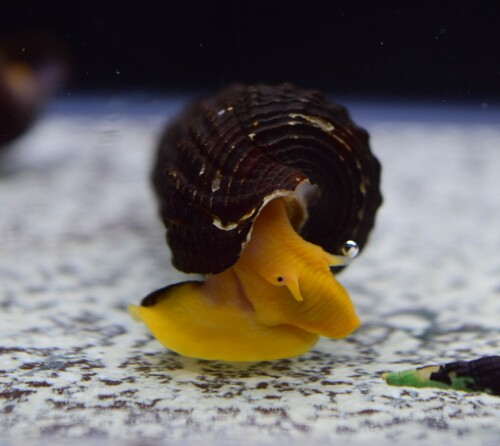 Orange Poso Rabbit Snail