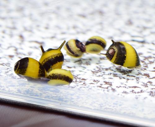 10 Horned Nerite Snails