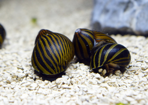 5 Zebra Nerite Snails