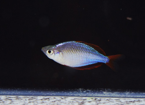 Neon Dwarf Rainbowfish