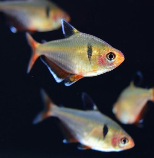 fish danio rasbora tetra rainbow manzanita driftwood com