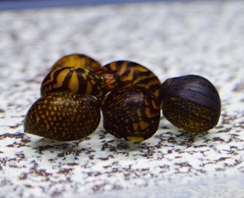 10 Batik Nerite Snails