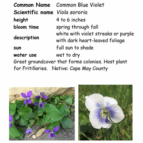 Common Blue Violet-small, NC