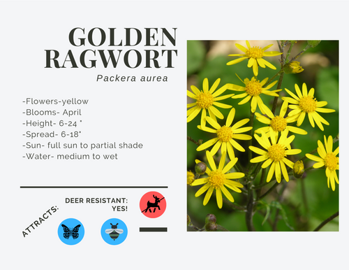 Golden Ragwort-quart, LS
