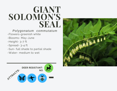 Giant Solomon's Seal-quart, LS