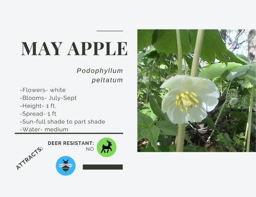 Mayapple-gallon, LS