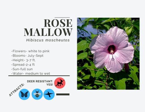 Swamp Rose Mallow-2 gallon, SH