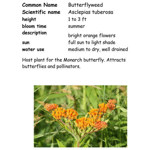 Butterfly Weed-quart, NC