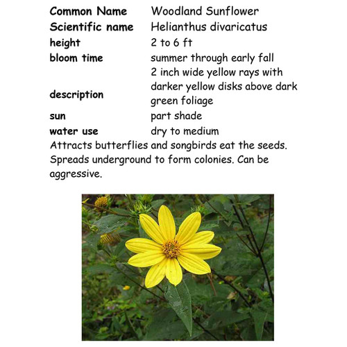 Woodland Sunflower, NC