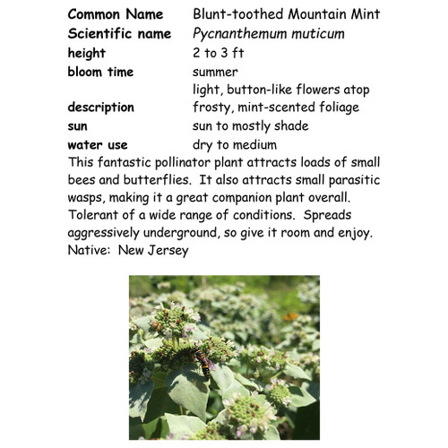Blunt-toothed Mountain Mint-small, NC