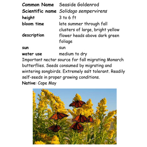 Seaside Goldenrod-quart, NC