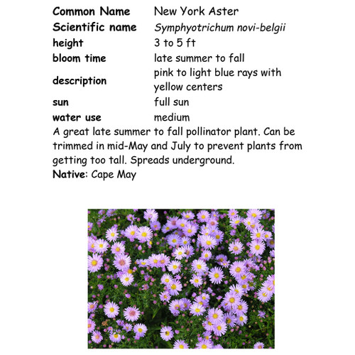 New York Aster-quart, NC