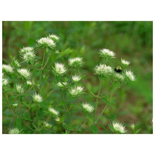 Mountain Mint, Virginian-quart, SH
