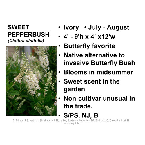 Sweet Pepperbush-tubeling, SH