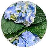 How to Care for Hydrangea