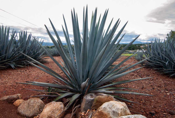 Agave and the Problem of Toxic Fructose
