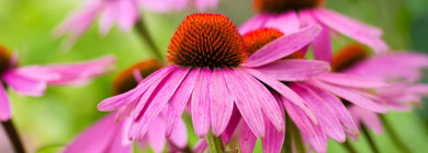 Herb of the Month - Echinacea!