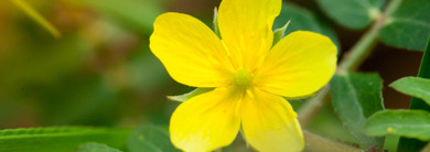 Herb of the Month - Tribulus Terrestris