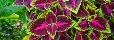 Herb of the Month: Coleus forskohlii (Coleus)