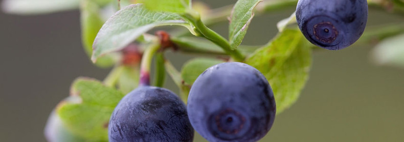 Herb of the Month - Bilberry!
