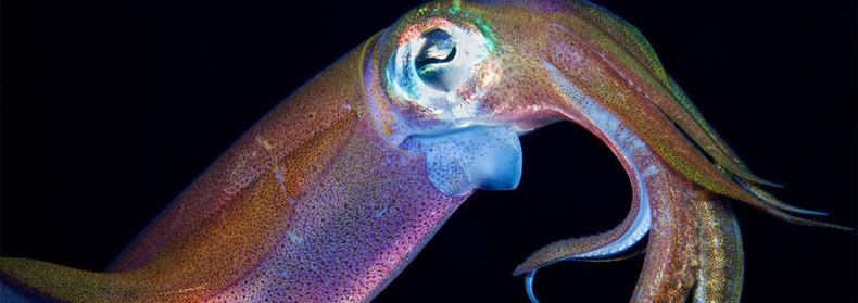 What is Calamari Oil?