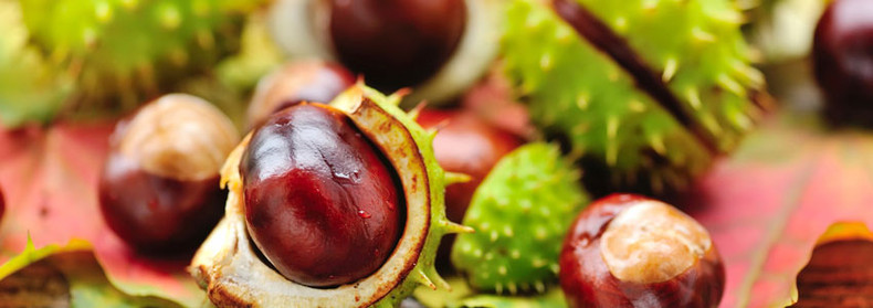 Herb of the Month:  Aesculus hippocastanum - Horse Chestnut