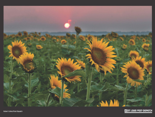 432-piece jigsaw puzzle image capturing the sun setting among the sunflowers in a field at the Columbia Bottom Conservation Area in Spanish Lake, MO. Completed size is 24x18