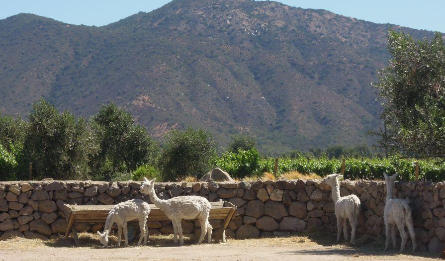 chile-llamas.jpg