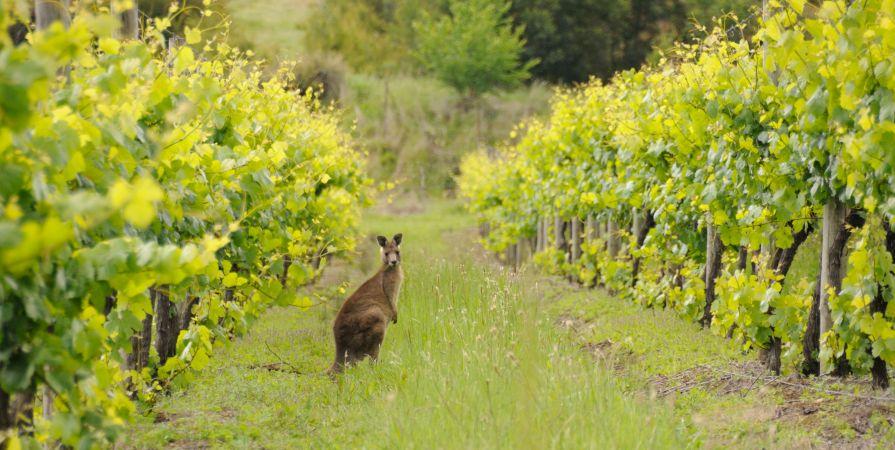 kangaroo-in-vineyard.jpg