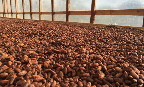 a spread of cacao beans drying