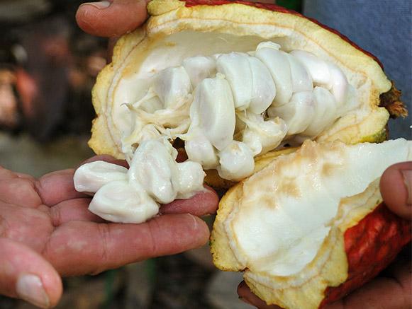inside a freshly, harvest cacao pod