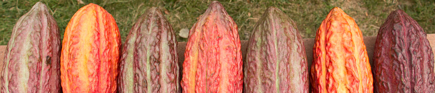 orange and brown cacao pods
