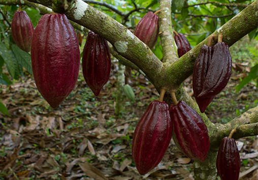 tree full of cocoa pods