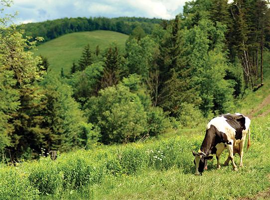 cow grazing in Vermont fields