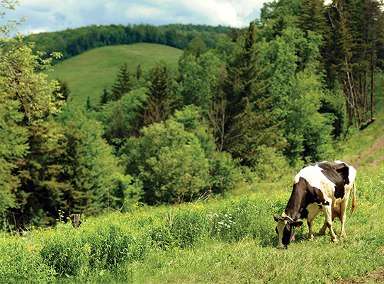 black and white cow grazing in Vermont fields